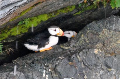 12_Tag_Puffins1a
